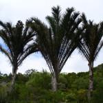 Raphia_australis