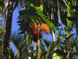 Palm Fact of the Week: Areca vestiaria or Sunset Palm