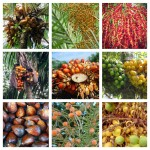 Palm Fact of the Week: 10 Common Edible Palm Fruits