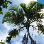 Palm Fact of the Week: Orania trispatha