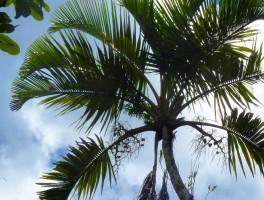 Palm Fact of the Week: Orania trispatha