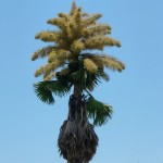 "Palm Fact of the Week: Corypha umbraculifera or the ""Talipot Palm"""
