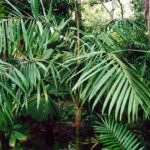 "Featured Palm: Dypsis rivularis or the ""Sari Palm"""