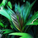 Featured Palm: Asterogyne spicata