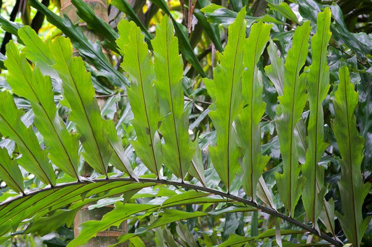 Arenga undulatifolia at The Merwin Conservancy
