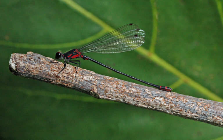 Hawaiian Damselfly - Photo courtesy the U.S. Fish & Wildlife Service
